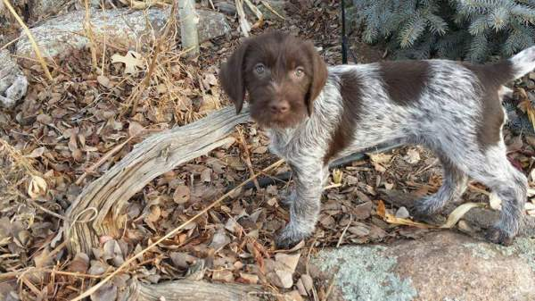Wirehaired Pointing Griffon Puppies, Grandview Griffons, GrandviewGriffons, Wirehair pointing Griffon, Wirehaired Pointing Griffon Photos, Wirehaired Pointing Griffon Pictures, #akcwirehairedpointinggriffon #NAVHDA #AKC #GrandviewGriffons #puppiesforsale