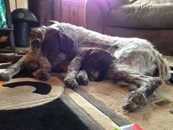 Wirehaired Pointing Griffon Puppies, Grandview Griffons, GrandviewGriffons, Wirehair pointing Griffon, Wirehaired Pointing Griffon Photos, Wirehaired Pointing Griffon Pictures,